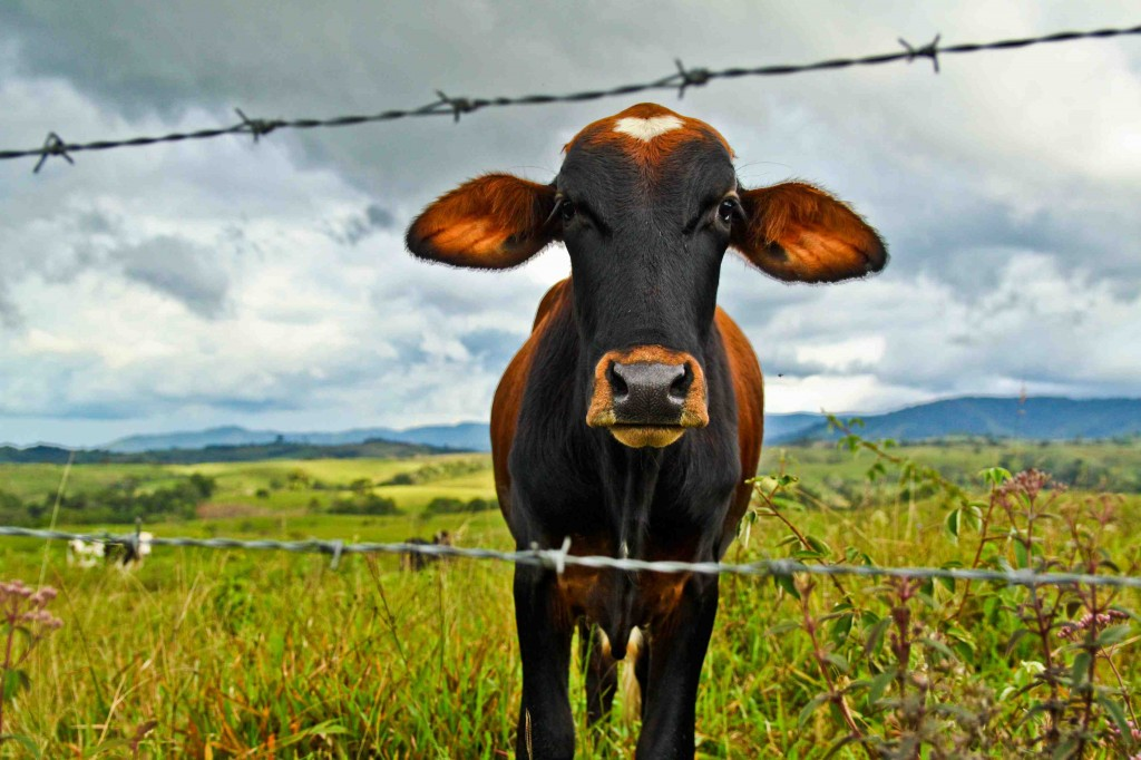 The most curious of cows poses for a portrait in los campos de Huila, Colombia